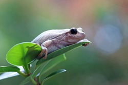 Litoria rubella tree frog on red leaves, Australian tree frog closeup on red leaves, litoria rubella closeup
