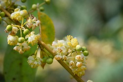 Litsea cubeba Pers. seeds produce essential oils.Plant from nature Used as ingredients in cosmetics and medicine Food flavoring