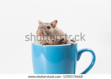 Litter Mongolian gerbil, Desert Rat on white background