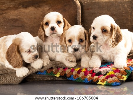 litter of american cocker spaniel puppies