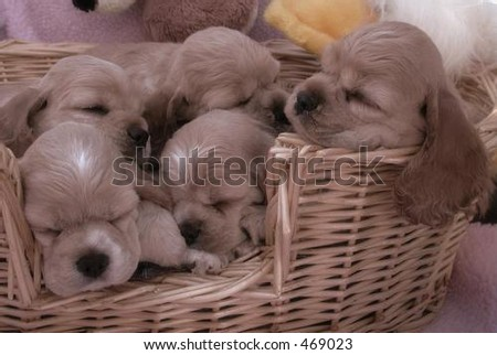 litter of American Cocker Spaniel puppies