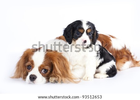Litter of Cavalier King Charles spaniel monter and puppy