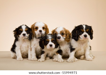 Cavalier King Charles Spaniel Puppies. of Cavalier King Charles