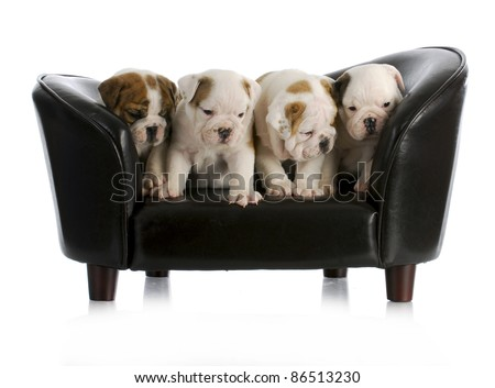 litter of english bulldog puppies sitting on a dog couch with reflection on white background