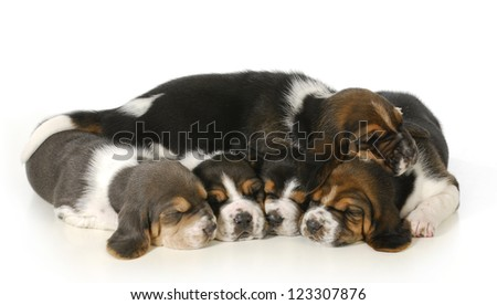 litter of puppies - 3 week old basset hound puppies sleeping on white background