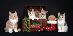 Litter of six Maine Coon cat kittens, sitting in and around wooden crate with Christmas decorations. Isolated on black background.