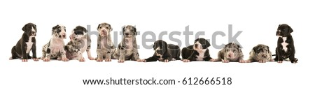 Litter of ten great dane puppies isolated on a white background #612666518