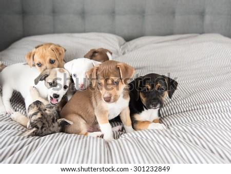 litter of terrier mix puppies...