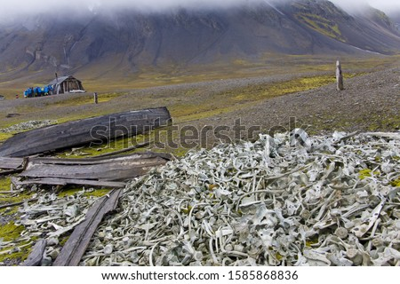 Littered beluga bones left by whalers and historic hut and a group of Tourists in Background, Bamsebu, Bellsund, Svalbard, Norway, Europe