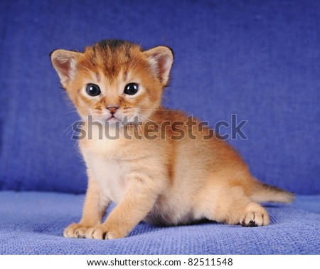 Little abyssinian kitten portrait on blue sofa