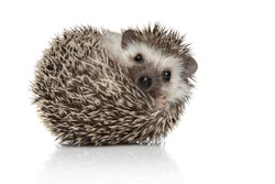 little african hedgehog with spiky fur rolling over while looking at camera happy on white studio background