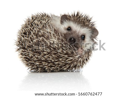 Photo of  little african hedgehog with spiky fur rolling over while looking at camera happy on white studio background