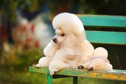 Little apricot poodle lies on a bench outdoors