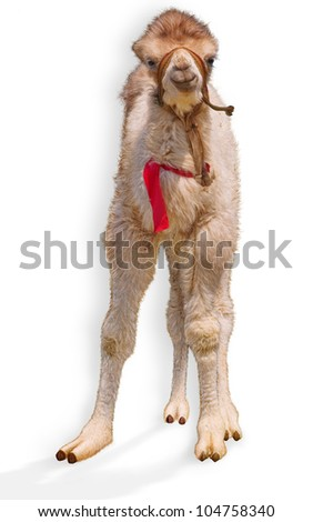 little baby bactrian camel at full height on a white background