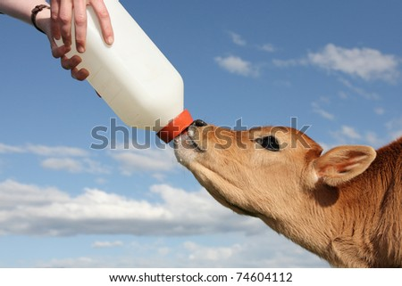little baby cow feeding from milk bottle