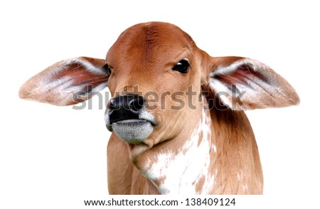 little baby cow isolated on white background
