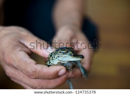 Little baby crocodile held in hand