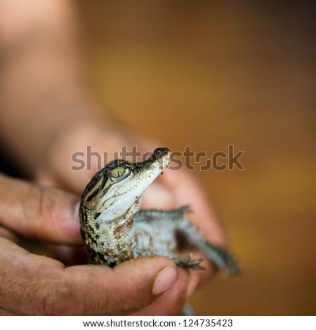 Little baby crocodile held in hand - stock photo