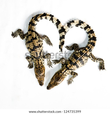 Little baby crocodile isolated on white.