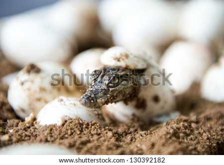 Little baby crocodiles are hatching from eggs. - stock photo