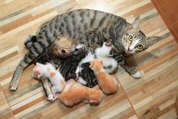 little baby cute kitten breastfeed mom cat wood background