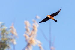 Little baby falcon flying in the air. Animals in freedom. Falcon bird flying over pine trees in a clear blue sky