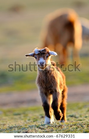 little baby goat on field in spring - stock photo