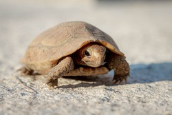 Little baby land turtle waking on concrete floor, Tortoise are reptiles of the order Testudines characterized by a special bony or cartilaginous shell developed from their ribs and acting as a shield.