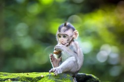 Little baby-monkey in monkey forest of Ubud, Bali, Indonesia
