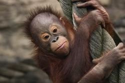 Little baby orangutan monkey close up