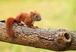 Little baby squirrel Sciurus vulgaris