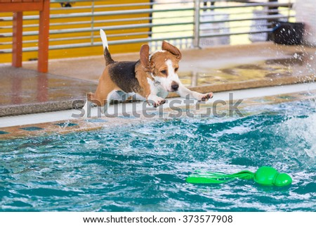 Little beagle dog jumping to catch up toy in the swimming pool #373577908