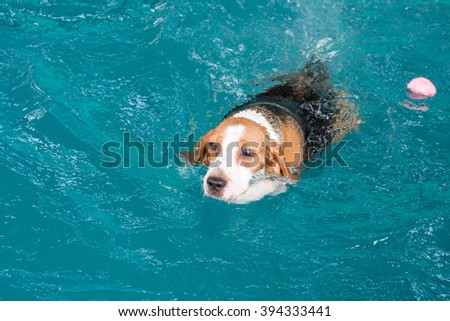 Little beagle dog swimming in the pool #394333441