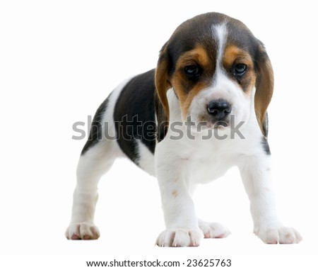 Little beagle puppy. Isolated on white background. - stock photo