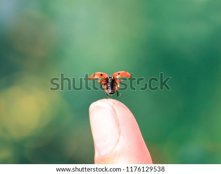 little beautiful ladybug flies up from a man's finger spreading red wings