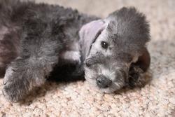 Little Bedlington Terrier puppy dog lies resting on the floor on the carpet indoors