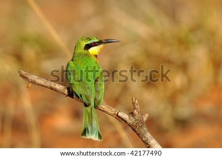 little bee-eater in Kruger national park,South Africa