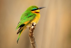 Little Bee-eater, Merops pusillus, detail of exotic green and yellow african bird with red eye in the nature habitat, Botswana, Africa.