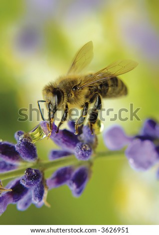 little bee is drinking water on a lavender