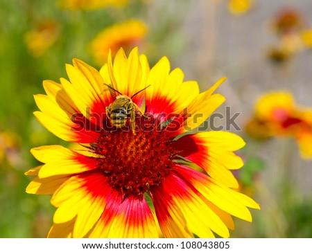 Little bee on yellow marigold flower