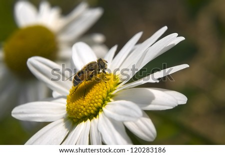 little bee sits on a large daisy