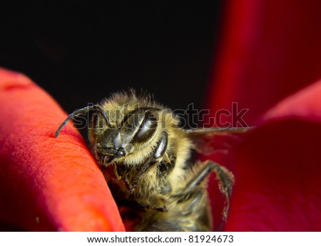 little bee walking along the red rose petals