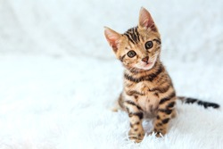 Little Bengal kitty laying on the white background. Copy space.