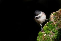 Little bird. Black nature background. Bird: Sombre Tit.