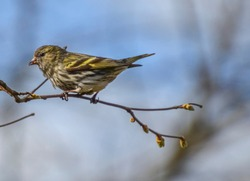 Little bird sitting on the branch with no leaves springtime. The Eurasian siskin (Spinus spinus) is a small passerine bird in the finch family Fringillidae.