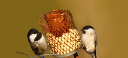 Little birds, Coal tit, and willow tit on one feeder and on a blurry brown background