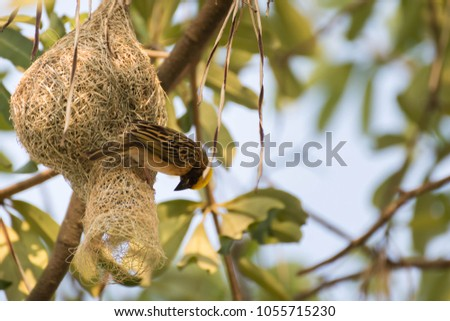 Little birds make small but beautiful nest with dry grass. #1055715230