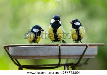 Little birds sitting on a feeder. Great Tit (Parus major). Summer time Foto stock ©