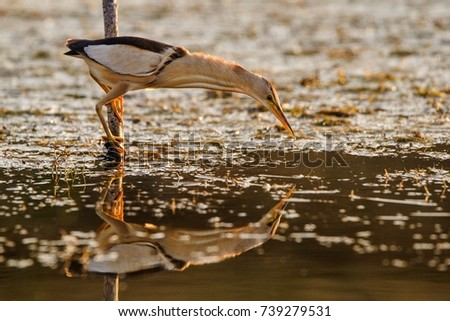 Little bittern holding on a stick and looks for food. (Ixobrychus minutus) #739279531