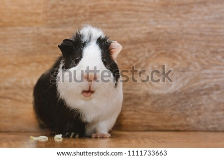 Little black and white guinea eating cabbage leaf.